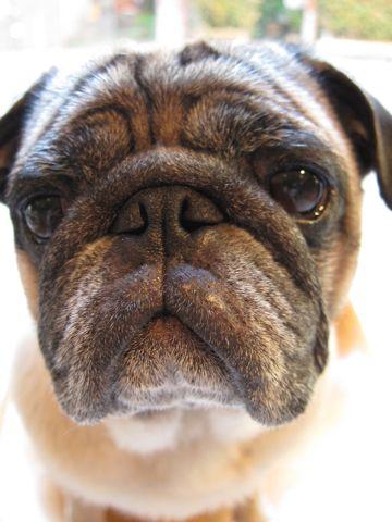 パグトリミング文京区フントヒュッテナノオゾンペットシャワー使用店東京ハーブパック犬デンタルケア犬の歯みがきhundehutteわんこシャンプーパグフォーンl.jpg