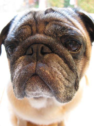 パグトリミング文京区フントヒュッテナノオゾンペットシャワー使用店東京ハーブパック犬デンタルケア犬の歯みがきhundehutteわんこシャンプーパグフォーンm.jpg