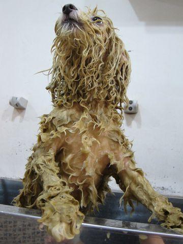 ビションフリーゼフントヒュッテ文京区トリミングナノオゾンペットシャワー使用店東京ビションフリーゼのカットのできるお店犬お誕生日バースデー割引hundehutte9.jpg