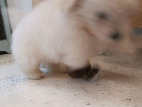 ビションフリーゼフントヒュッテ東京子犬こいぬかわいいビションフリーゼブリーダーかわいいビションフリーゼのいるお店文京区本駒込hundehutte仔犬ビション10.jpg