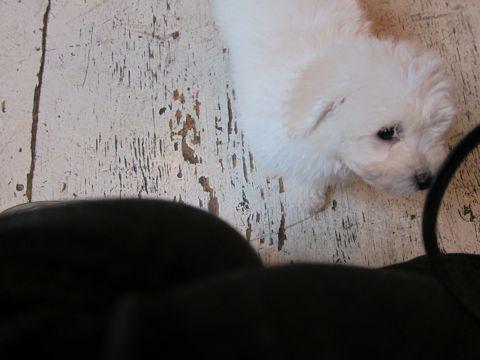 ビションフリーゼフントヒュッテ東京子犬こいぬかわいいビションフリーゼブリーダーかわいいビションフリーゼのいるお店文京区本駒込hundehutte仔犬ビション18.jpg