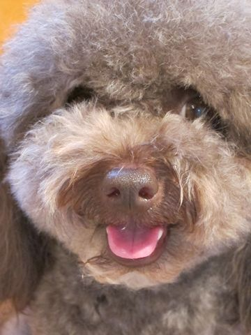 ビションフリーゼフントヒュッテ東京子犬こいぬかわいいビションフリーゼブリーダーかわいいビションフリーゼのいるお店文京区本駒込hundehutte仔犬ビション29.jpg