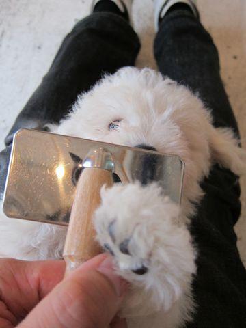 ビションフリーゼフントヒュッテ東京子犬こいぬかわいいビションフリーゼブリーダーかわいいビションフリーゼのいるお店文京区本駒込hundehutte仔犬ビション41.jpg