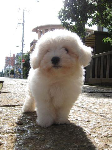 ビションフリーゼフントヒュッテ東京子犬こいぬかわいいビションフリーゼブリーダーかわいいビションフリーゼのいるお店文京区本駒込hundehutte仔犬ビション45.jpg