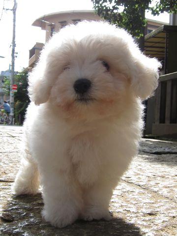 ビションフリーゼフントヒュッテ東京子犬こいぬかわいいビションフリーゼブリーダーかわいいビションフリーゼのいるお店文京区本駒込hundehutte仔犬ビション46.jpg