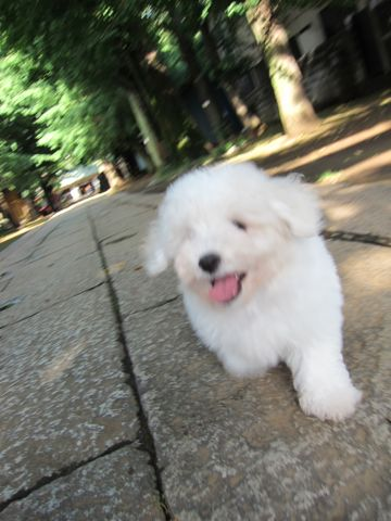 ビションフリーゼフントヒュッテ東京子犬こいぬかわいいビションフリーゼブリーダーかわいいビションフリーゼのいるお店文京区本駒込hundehutte仔犬ビション55.jpg