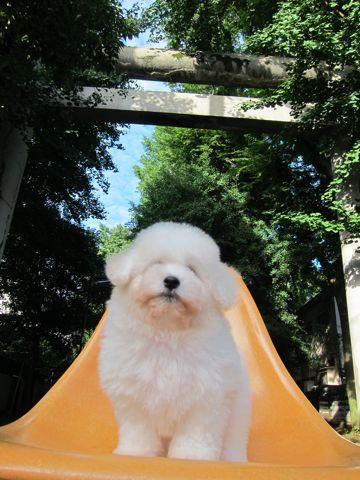 ビションフリーゼフントヒュッテ東京子犬こいぬかわいいビションフリーゼブリーダーかわいいビションフリーゼのいるお店文京区本駒込hundehutte仔犬ビション82.jpg