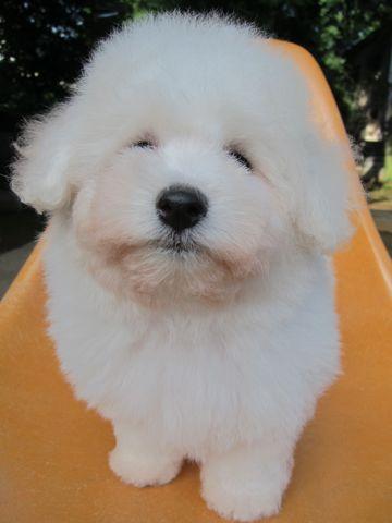 ビションフリーゼフントヒュッテ東京子犬こいぬかわいいビションフリーゼブリーダーかわいいビションフリーゼのいるお店文京区本駒込hundehutte仔犬ビション83.jpg