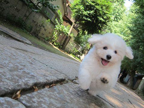 ビションフリーゼフントヒュッテ東京子犬こいぬかわいいビションフリーゼブリーダーかわいいビションフリーゼのいるお店文京区本駒込hundehutte仔犬ビション85.jpg