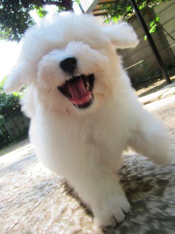 ビションフリーゼフントヒュッテ東京子犬こいぬかわいいビションフリーゼブリーダーかわいいビションフリーゼのいるお店文京区本駒込hundehutte仔犬ビション86.jpg