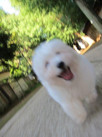 ビションフリーゼフントヒュッテ東京子犬こいぬかわいいビションフリーゼブリーダーかわいいビションフリーゼのいるお店文京区本駒込hundehutte仔犬ビション96.jpg
