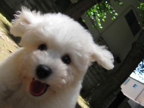 ビションフリーゼフントヒュッテ東京子犬こいぬかわいいビションフリーゼブリーダーかわいいビションフリーゼのいるお店文京区本駒込hundehutte仔犬ビション100.jpg