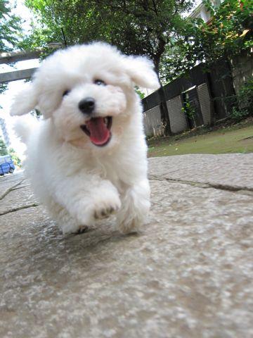 ビションフリーゼフントヒュッテ東京子犬こいぬかわいいビションフリーゼブリーダーかわいいビションフリーゼのいるお店文京区本駒込hundehutte仔犬ビション102.jpg