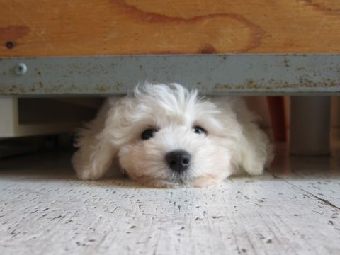 ビションフリーゼフントヒュッテ東京子犬こいぬかわいいビションフリーゼブリーダーかわいいビションフリーゼのいるお店文京区本駒込hundehutte仔犬ビション112.jpg