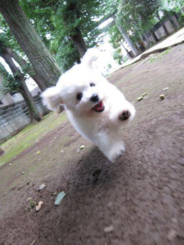 ビションフリーゼフントヒュッテ東京子犬こいぬかわいいビションフリーゼブリーダーかわいいビションフリーゼのいるお店文京区本駒込hundehutte仔犬ビション128.jpg