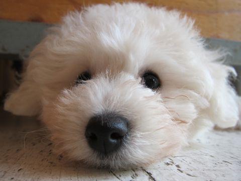 ビションフリーゼフントヒュッテ東京子犬こいぬかわいいビションフリーゼブリーダーかわいいビションフリーゼのいるお店文京区本駒込hundehutte仔犬ビション152.jpg