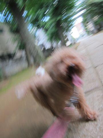 ビションフリーゼフントヒュッテ東京子犬こいぬかわいいビションフリーゼブリーダーかわいいビションフリーゼのいるお店文京区本駒込hundehutte仔犬ビション191.jpg