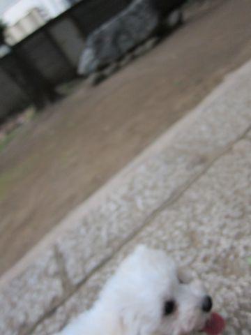 ビションフリーゼフントヒュッテ東京子犬こいぬかわいいビションフリーゼブリーダーかわいいビションフリーゼのいるお店文京区本駒込hundehutte仔犬ビション192.jpg