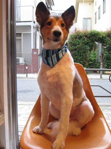 シェットランドシープドッグトリミング文京区フントヒュッテ東京ナノオゾンペットシャワーhundehutteご新規様割引トリミングシェルティサマーカット犬暑さ対策21.jpg