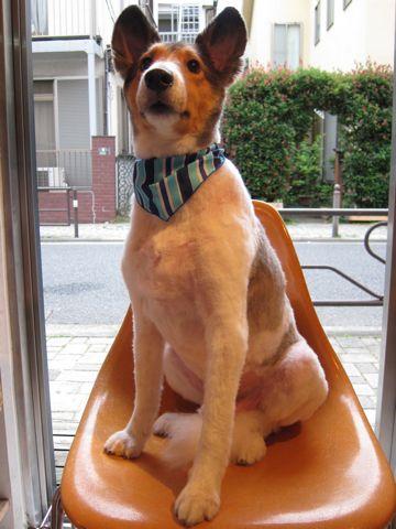 シェットランドシープドッグトリミング文京区フントヒュッテ東京ナノオゾンペットシャワーhundehutteご新規様割引トリミングシェルティサマーカット犬暑さ対策23.jpg