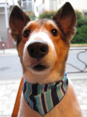 シェットランドシープドッグトリミング文京区フントヒュッテ東京ナノオゾンペットシャワーhundehutteご新規様割引トリミングシェルティサマーカット犬暑さ対策24.jpg