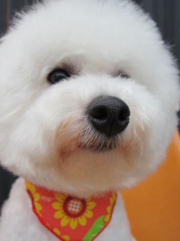 ビションフリーゼトリミング文京区フントヒュッテナノオゾンペットシャワー使用店東京hundehutteビションカットビションフリーゼカット集ビション白い犬しろいいぬ2.jpg