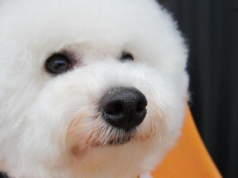 ビションフリーゼトリミング文京区フントヒュッテナノオゾンペットシャワー使用店東京hundehutteビションカットビションフリーゼカット集ビション白い犬しろいいぬ3.jpg