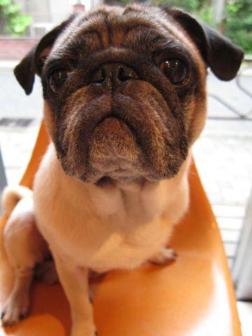 パグトリミング文京区フントヒュッテナノオゾンペットシャワー使用トリミングサロン東京パグシャンプーhundehutte本駒込かわいいパグ夏暑さ対策ブサ犬1.jpg