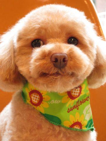 トイ・プードルトリミング文京区フントヒュッテナノオゾンペットシャワー使用トリミングサロン東京犬の歯みがきhundehutteトイプードルテディベアカット駒込1.jpg