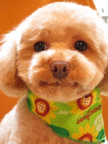 トイ・プードルトリミング文京区フントヒュッテナノオゾンペットシャワー使用トリミングサロン東京犬の歯みがきhundehutteトイプードルテディベアカット駒込2.jpg