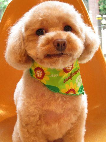 トイ・プードルトリミング文京区フントヒュッテナノオゾンペットシャワー使用トリミングサロン東京犬の歯みがきhundehutteトイプードルテディベアカット駒込3.jpg