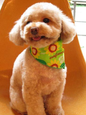 トイ・プードルトリミング文京区フントヒュッテナノオゾンペットシャワー使用トリミングサロン東京犬の歯みがきhundehutteトイプードルテディベアカット駒込5.jpg