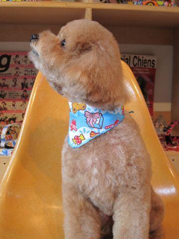 トイ・プードルトリミング文京区フントヒュッテナノオゾンペットシャワー使用トリミングサロン東京犬歯みがき犬デンタルケアhundehutteトイプードルカット駒込4.jpg