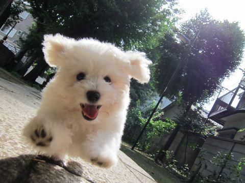 ビションフリーゼフントヒュッテ東京子犬こいぬかわいいビションフリーゼブリーダーかわいいビションフリーゼのいるお店文京区本駒込hundehutte仔犬ビション212.jpg