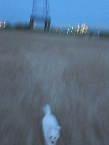 ビションフリーゼフントヒュッテ東京子犬こいぬかわいいビションフリーゼブリーダーかわいいビションフリーゼのいるお店文京区本駒込hundehutte仔犬ビション225.jpg