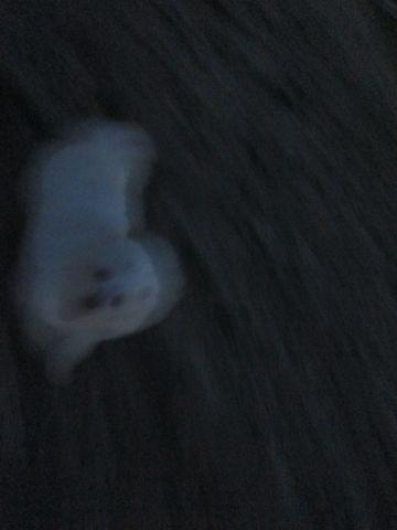 ビションフリーゼフントヒュッテ東京子犬こいぬかわいいビションフリーゼブリーダーかわいいビションフリーゼのいるお店文京区本駒込hundehutte仔犬ビション239.jpg