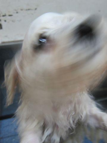 ビションフリーゼフントヒュッテ東京子犬こいぬかわいいビションフリーゼブリーダーかわいいビションフリーゼのいるお店文京区本駒込hundehutte仔犬ビション248.jpg