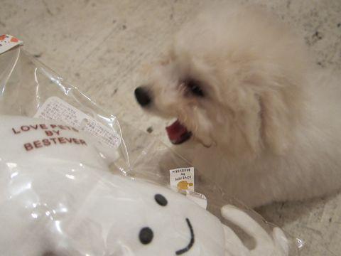 ビションフリーゼフントヒュッテ東京子犬こいぬかわいいビションフリーゼブリーダーかわいいビションフリーゼのいるお店文京区本駒込hundehutte仔犬ビション262.jpg