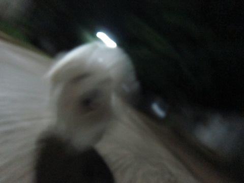ビションフリーゼフントヒュッテ東京子犬こいぬかわいいビションフリーゼブリーダーかわいいビションフリーゼのいるお店文京区本駒込hundehutte仔犬ビション263.jpg