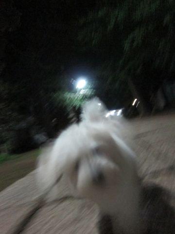 ビションフリーゼフントヒュッテ東京子犬こいぬかわいいビションフリーゼブリーダーかわいいビションフリーゼのいるお店文京区本駒込hundehutte仔犬ビション265.jpg
