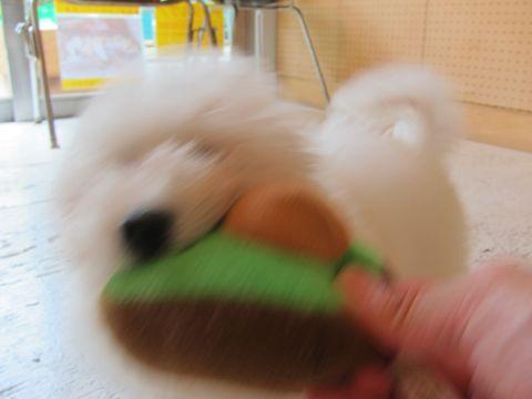 ビションフリーゼフントヒュッテ東京子犬こいぬかわいいビションフリーゼブリーダーかわいいビションフリーゼのいるお店文京区本駒込hundehutte仔犬ビション266.jpg