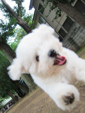 ビションフリーゼフントヒュッテ東京子犬こいぬかわいいビションフリーゼブリーダーかわいいビションフリーゼのいるお店文京区本駒込hundehutte仔犬ビション290.jpg