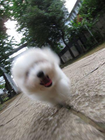 ビションフリーゼフントヒュッテ東京子犬こいぬかわいいビションフリーゼブリーダーかわいいビションフリーゼのいるお店文京区本駒込hundehutte仔犬ビション291.jpg
