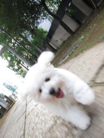 ビションフリーゼフントヒュッテ東京子犬こいぬかわいいビションフリーゼブリーダーかわいいビションフリーゼのいるお店文京区本駒込hundehutte仔犬ビション292.jpg