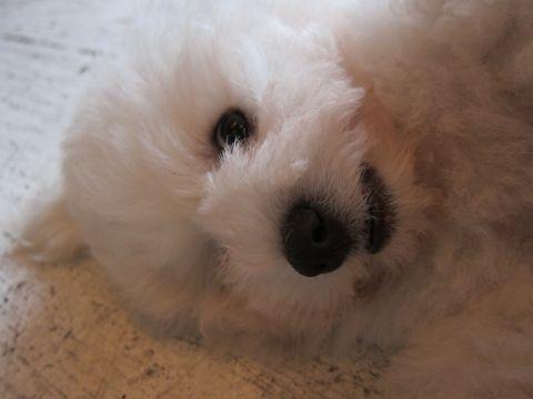 ビションフリーゼフントヒュッテ東京子犬こいぬかわいいビションフリーゼブリーダーかわいいビションフリーゼのいるお店文京区本駒込hundehutte仔犬ビション299.jpg