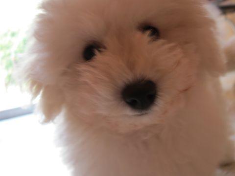 ビションフリーゼフントヒュッテ東京子犬こいぬかわいいビションフリーゼブリーダーかわいいビションフリーゼのいるお店文京区本駒込hundehutte仔犬ビション321.jpg