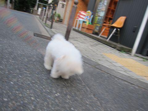 ビションフリーゼフントヒュッテ東京子犬こいぬかわいいビションフリーゼブリーダーかわいいビションフリーゼのいるお店文京区本駒込hundehutte仔犬ビション328.jpg