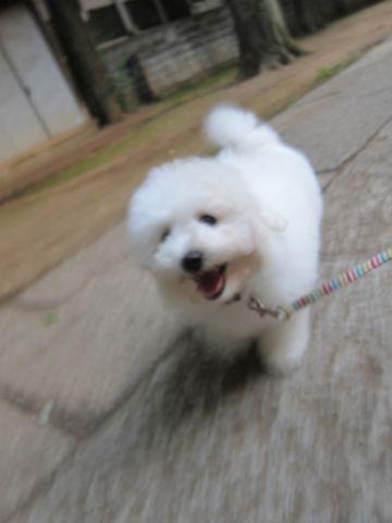 ビションフリーゼフントヒュッテ東京子犬こいぬかわいいビションフリーゼブリーダーかわいいビションフリーゼのいるお店文京区本駒込hundehutte仔犬ビション333.jpg