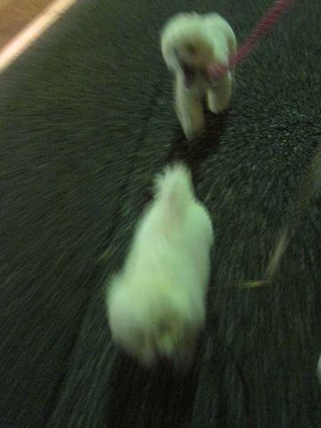 ビションフリーゼフントヒュッテ東京子犬こいぬかわいいビションフリーゼブリーダーかわいいビションフリーゼのいるお店文京区本駒込hundehutte仔犬ビション337.jpg