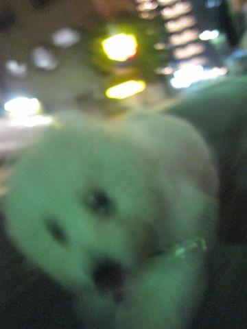ビションフリーゼフントヒュッテ東京子犬こいぬかわいいビションフリーゼブリーダーかわいいビションフリーゼのいるお店文京区本駒込hundehutte仔犬ビション338.jpg